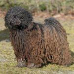 perro de aguas pelo largo