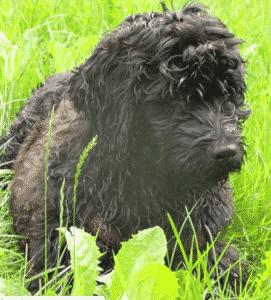 perro de aguas portugues