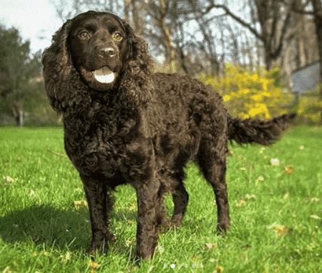 perro de aguas americano