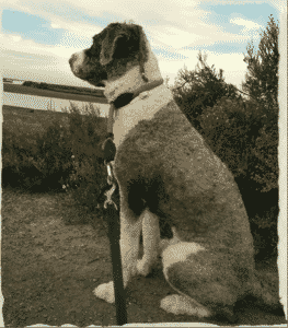 perro de aguas pelo corto