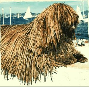 perro de agua pelo largo