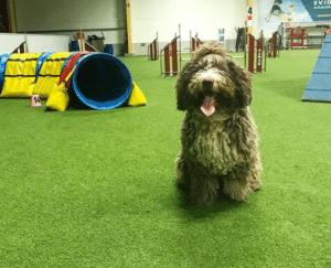 perro de aguas entrenando