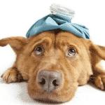 Enfermedades comunes en Perros de Agua