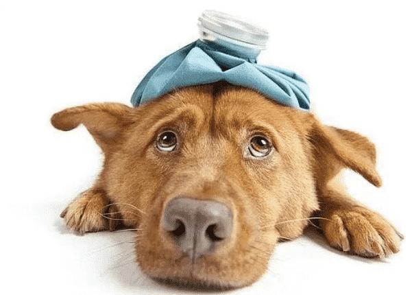 perro de aguas enfermo