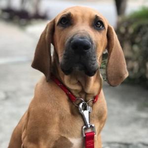 perro mas peligrosos fila brasileños