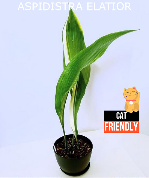 Plantas seguras para gatos Aspidistra elatior