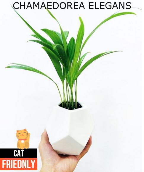 Plantas seguras para gatos Chamaedorea Elegans