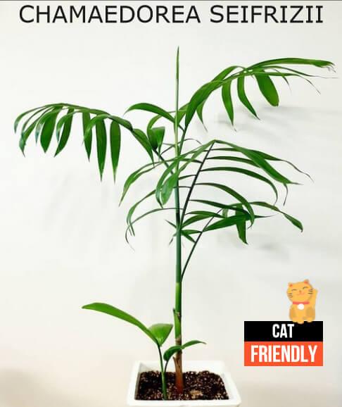 Plantas seguras para gatos Chamaedorea seifrizii