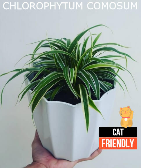Plantas seguras para gatos Chlorophytum comosum