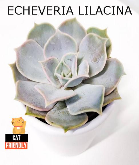 Plantas seguras para gatos Echeveria lilacina