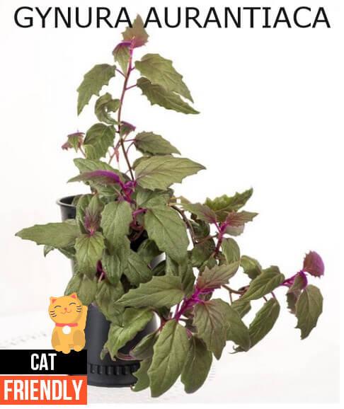 Plantas seguras para gatos Gynura aurantiaca