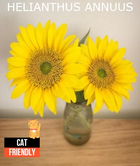 Plantas seguras para gatos Helianthus annuus