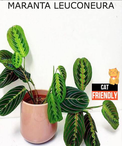 Plantas seguras para gatos Maranta leuconeura