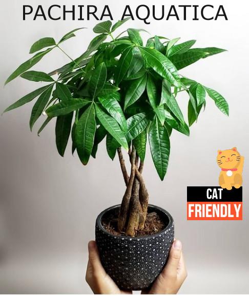Plantas seguras para gatos Pachira aquatica