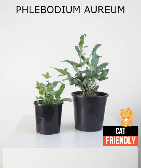 Plantas seguras para gatos Phlebodium aureum
