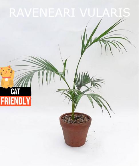 Plantas seguras para gatos Ravenea rivularis