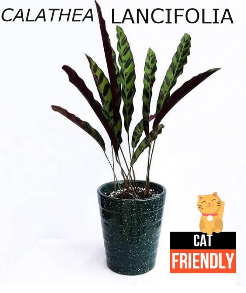 Plantas seguras para gatos calathea lancifolia