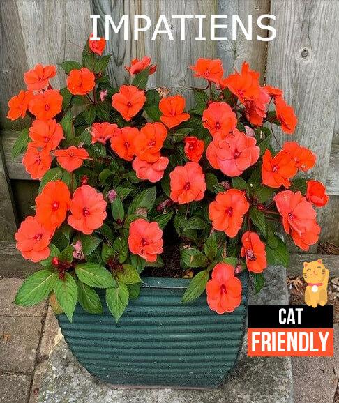 Plantas seguras para gatos Impatiens