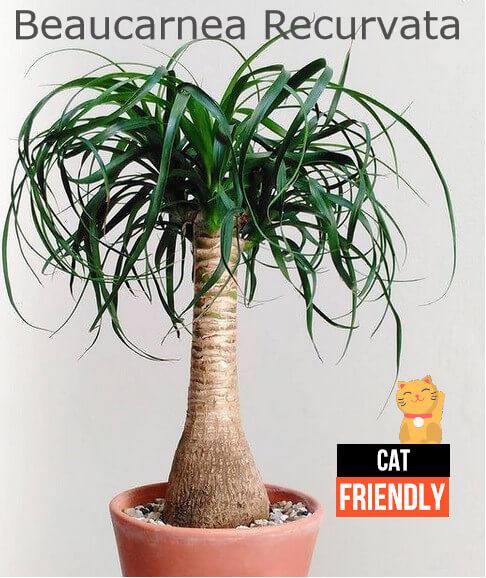 plantas seguras para gatos beaucarnea recurvata