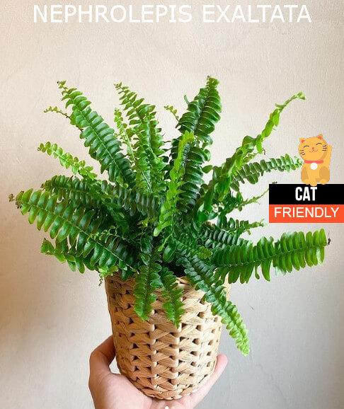 plantas seguras para gatos Nephrolepis exaltata