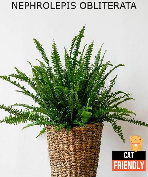 plantas seguras para gatos Nephrolepis obliterata