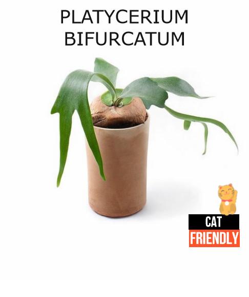 plantas seguras para gatos Platycerium bifurcatum