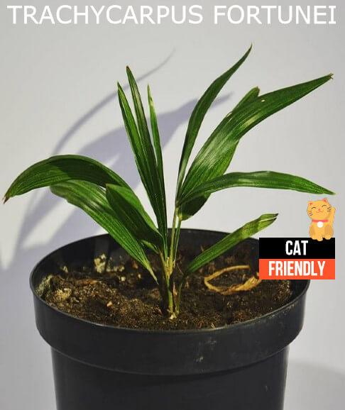 plantas seguras para gatos Trachycarpus fortunei