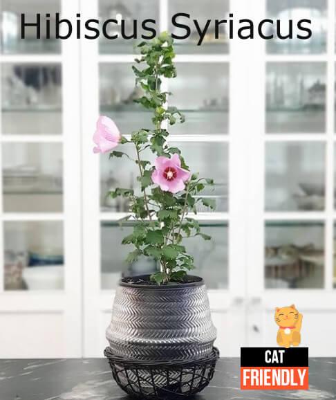 plantas seguras para gatos hibiscus syriacus